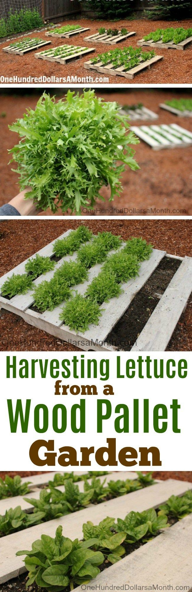 Wood Pallet Garden, Harvesting Lettuce, Growing Lettuce, Wood pallet Gardens, Wood Pallet Vegetable Gardens, Gardening Tips, How to Grow Lettuce