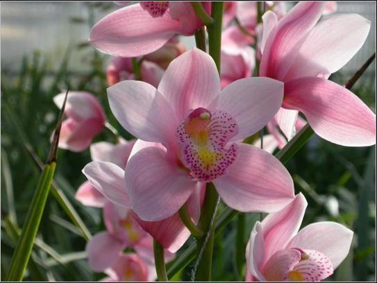 Fiore di Cymbidium by Enricoorchidee
