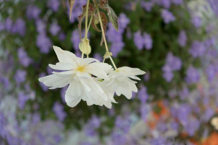 White Lyli #fujifilmxt2 #flowers