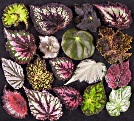 Las hojas de begonia!  Begonia tiene muchas variaciones!  Aquí está la prueba !: