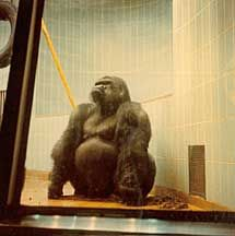 Samson the gorilla from the Milwaukee Zoo at his peak weight - totally remember seeing him many times. He was HUGE!