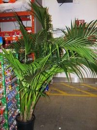 By far and away the best indoor palm is the Howea forsteriana or Kentia Palm. Howeas can survive in low light situations and stay a healthy, deep green color. Fairly resistant to low humidity, spider mites & mealy bugs. These palms are somewhat resistant to drought & will survive seemingly unaffected by the soil getting dry. However, this plant still performs best with plenty of light, water, humidity & air flow. One should not think it is 'happy' in a dismal indoor situation, just tolerant.