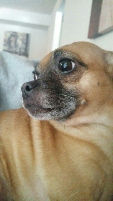 Carlin pinscher (pug mixed with min pin ), this is my baby, Rosko and he poses when I say let's take a picture :)