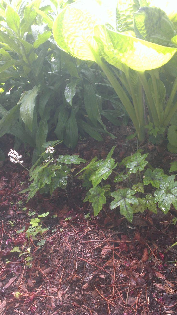 Tiarella cordifolia a way to garden - May 30 Tiarella Cordifolia Foram Flower