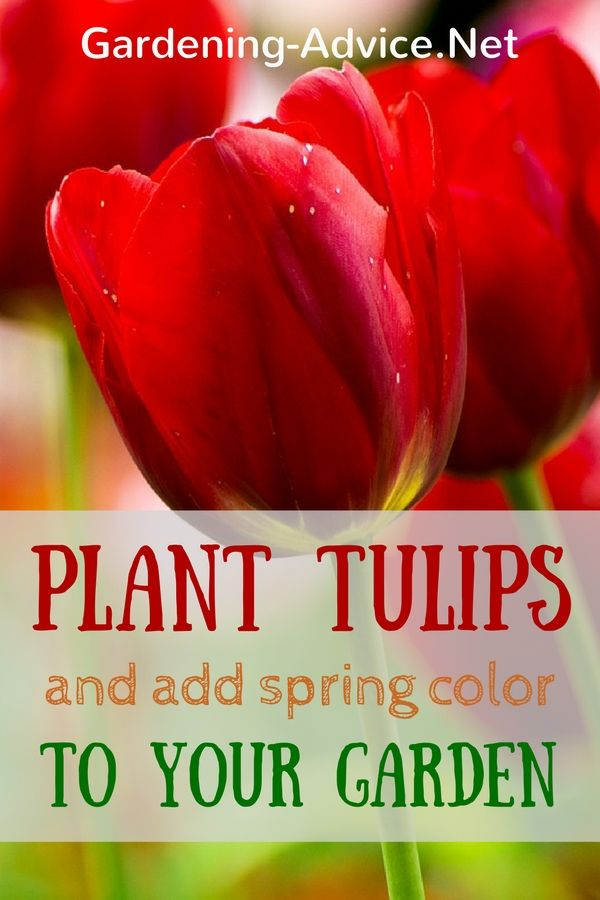 Growing Tulips is an easy thing to do. Learn about when and how to plant…