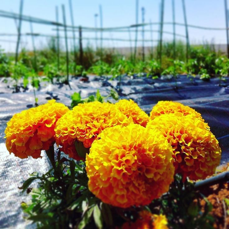 Un poco de naturaleza y horticultura #flowers #clarendon #orange #yellow #tiltshift #bokeh #detail #growth #nature