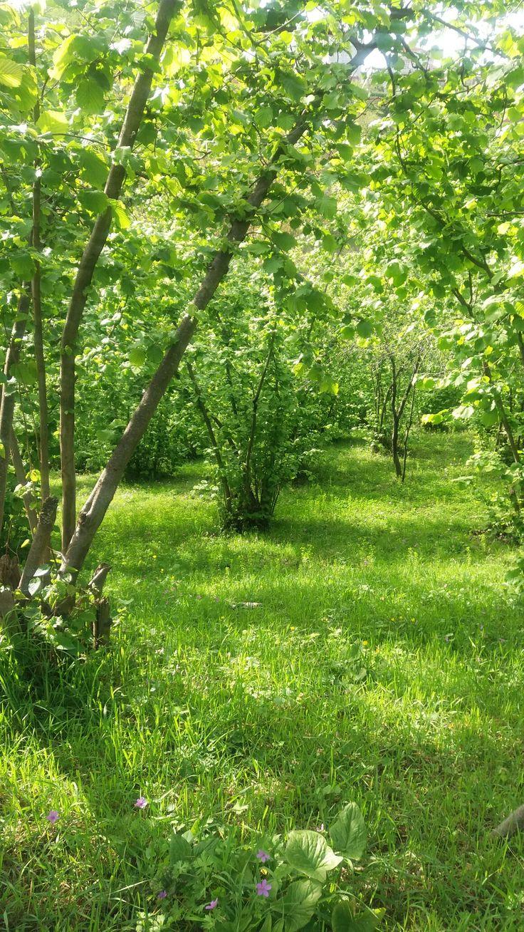 Trabzon, Türkiye.. Corylus Tree ..Doğu Karadeniz'de ilkbaharı yaşayan bir fındık bahçesi.. #yeşil #corylus #green #trabzon #tree #flora #manzaramimarisi  #yeşilörtü #doğa #kırsalyaşam #bahçe #yeşiltarım #çiftçilik #taşra #köy