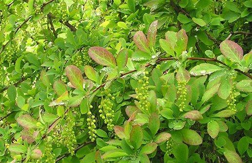 Koreansk berberis Berberis koreana Kategori: Träd och buskar Höjd 100 cm - 2 m Blomfärg: Gul Växtzon: 5 Blomning: May - Jun Ljusförhållande: Sol - halvskugga Bladfärg Daggrön Markförhållande: Torrt - friskt Andra egenskaper: Häckväxt, Höstfärger, Ätlig