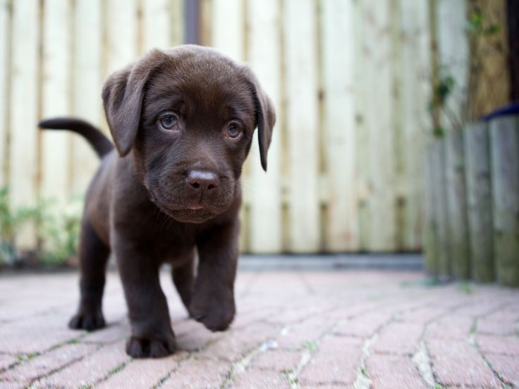 lab puppyDogs, Vans Wijh, Baby Animal, Labrador Puppies, Puppy'S, Labs Puppies, Jick Vans, Chocolates Labs, Happy Things
