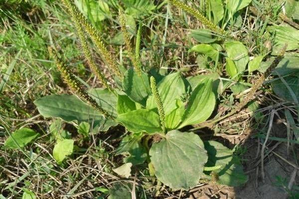 Az egyik leghasznosabb gyomnövény a világon - Tudasfaja.com