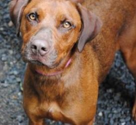 Coco is an adoptable Rhodesian Ridgeback Dog in Hopkinton, MA.  Stella is a 2 and 1/2 yr old boxer/shepherd mix. She was recently adopted by a wonderful woman. Stella knew that she had hit the jackpo...