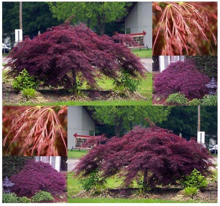 MySeeds.Co - BURGUNDY LACE - JAPANESE MAPLE TREE SEED SEEDS - Acer palmatum BURGUNDY LACE - Develops Full Canopy - EXCELLENT BONSAI SPECIMEN, $4.00 (http://www.myseeds.co/burgundy-lace-japanese-maple-tree-seed-seeds-acer-palmatum-burgundy-lace-develops-full-canopy-excellent-bonsai-specimen/)