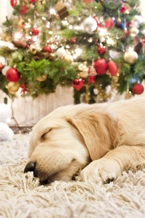 Dangerous Foods For Dogs At Christmas | Dog Care Advice | VetsNow Golden Retriever Merry Happy Christmas Day Card Puppy Holiday Dogs Santa Claus Dog Puppies Xmas #MerryChristmas