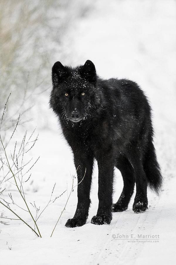 1000 Ideas About Black Wolves On Pinterest