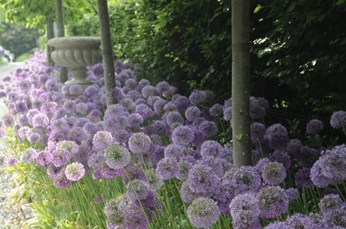 Allium. I planted some of these last fall compliments from my dear grandmother; can't wait to see them this spring!