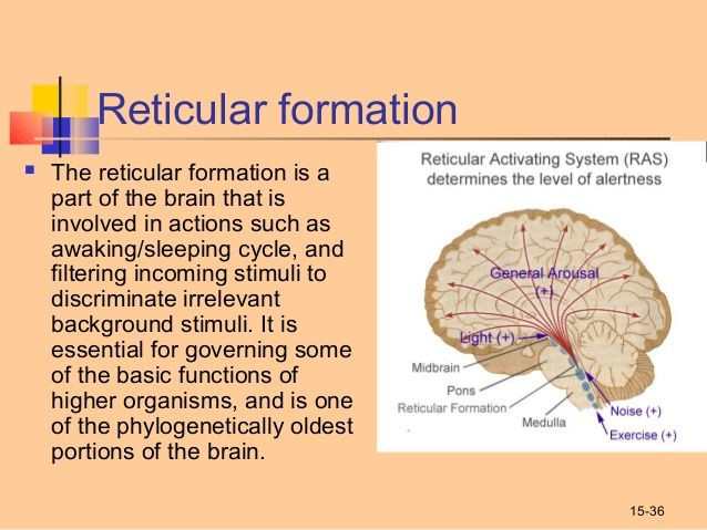 reticular formation The brain's three major divisions--forebrain, midbrain, and hindbrain--are responsible for sending and receiving different information.