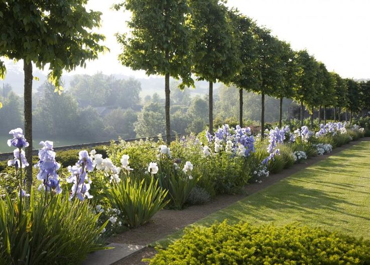 Hornbeams, pleached help to enclose the space while creating a firm sense of perspective. Below them, the blowy shapes and delicate colors of Iris germanica 'Jane Phillips' and Iris sibirica 'White Swan,' along with pink dianthus 'Mrs Simkins' and lavender at the front, contrast the rigor of the traditional Cotswold dry-stone walls. Jinny Blom's gardens at Temple Guiting