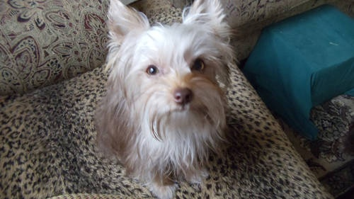 Exotic Chocolate Teacup Yorkie Puppies for Adoption - Gorgeous! This is Kit Kat!