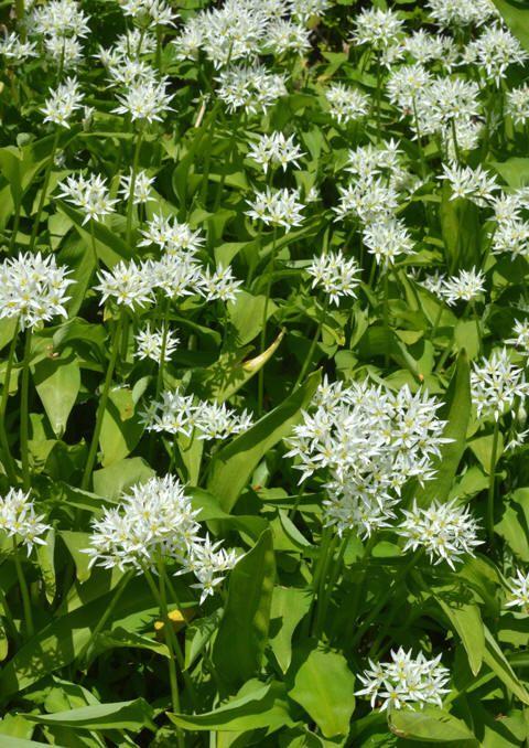 Ramsløk (Allium ursinum)