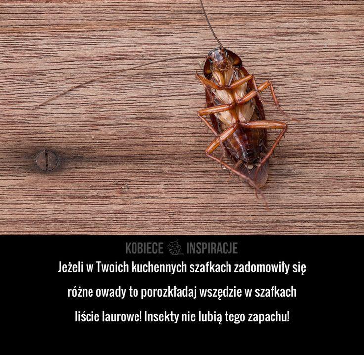 Jeżeli w Twoich kuchennych szafkach zadomowiły się różne owady to porozkładaj wszędzie w szafkach liście laurowe! Insekty nie lubią tego ...