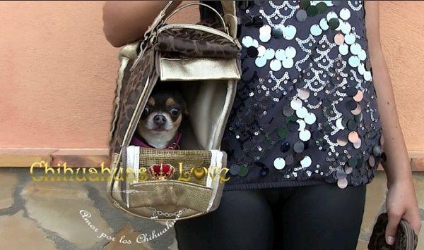 Chihuahuas Love - Chihuahuas en Avión. Viajar con Perros Chihuahua.