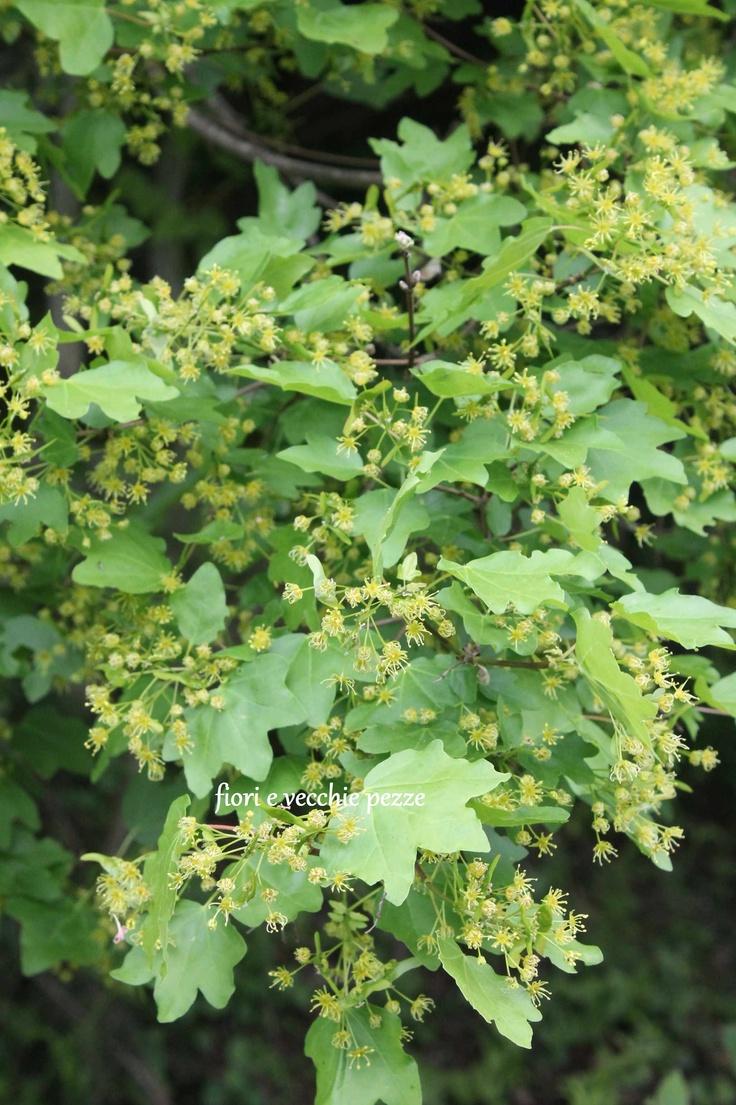 13 best images about acer campestre on pinterest gardens for Garden shrubs