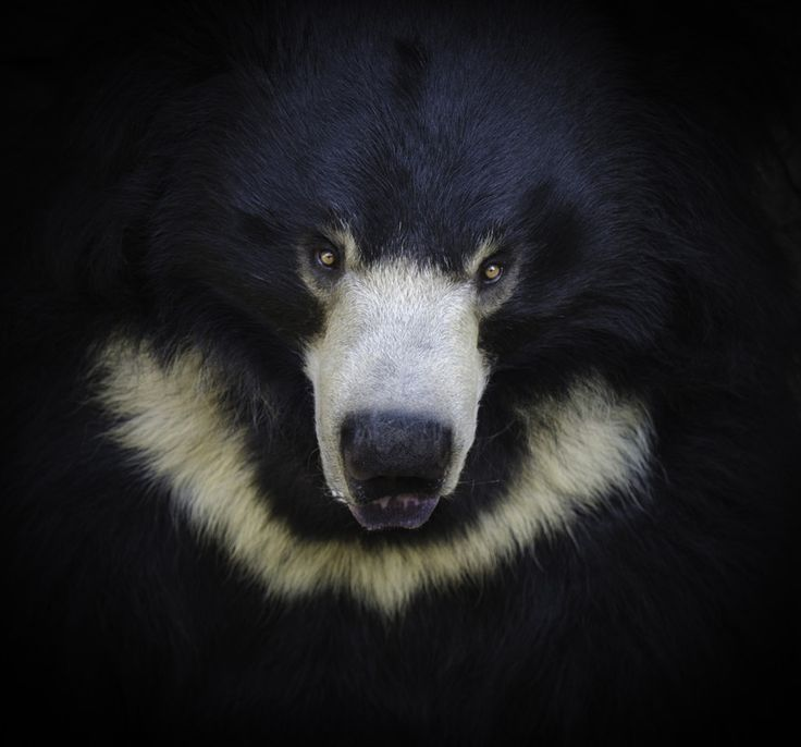 "Sloth Bear by Pat Stotler The sloth bear's habitat is India, Nepal, Sri Lanka and Bhutan. This bear has a shaggy, dusty-black coat and a pale, short-haired muzzle. The cream-colored ""V"" or ""Y"" shaped mark on its chest is typical, and its nostrils can close to protect the bear from dust or insects when raiding nests or beehives. The gap in the sloth bear's teeth enables it to suck up ants, termites and other insects. This 120 to 310 pound bear can grow between 5 to 6 feet long. The sloth bear…"