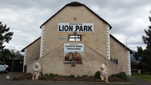 """Drakenstein Lion Park in the Paarl fulfil such an important role....that of a haven for lions who has been born in captivity and who could not be released to fend for themselves. Great rehab work has been done on especially the lions whom hsd been rescued from circusses or from """"canned hunts"""". #paarl #lionpark"""