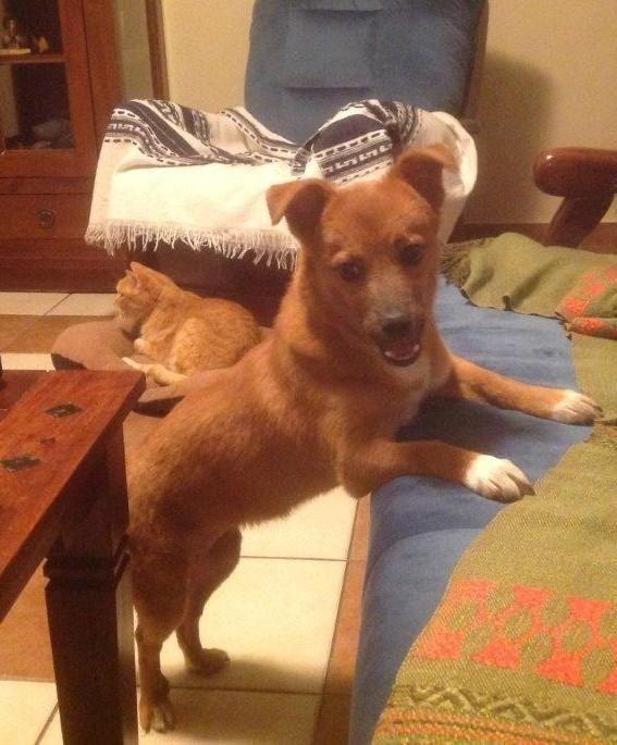 Hund, Mischling klein (Mischling, Hündin, 9 Monate) Rumänien