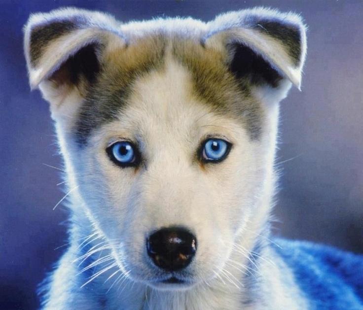 Cute Husky Puppies, Puppies, Blue Eyed Dog