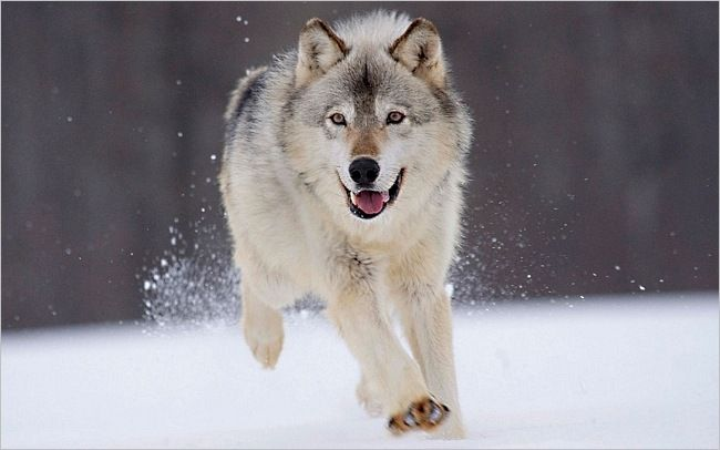 .: Grey Wolf, Dogs, Gray Wolf, Grey Wolves, Graywolf, Beautiful, Snow, Baby Animal, Running