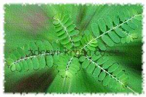 Jak již její název napovídá – rozbíječ kamene – je tato bylina od nepaměti používána v tradiční medicíně amazonských indiánů k odstraňování žlučníkových a ledvinových kamenů.