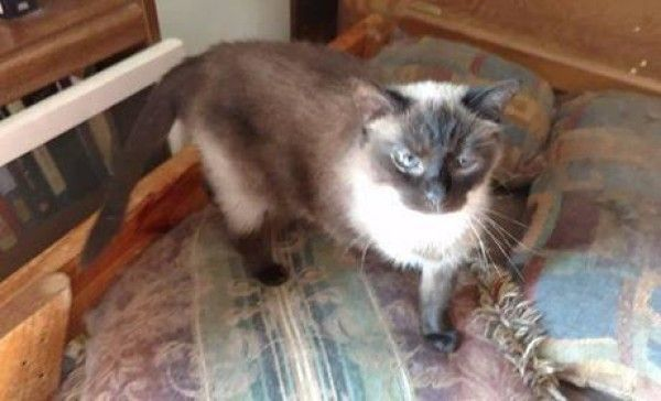 Sheba Siamese Cat For Adoption In Rushville Indiana Cat Adoption Siamese Rescue Cats