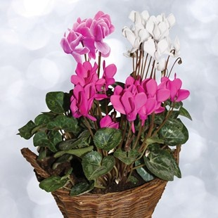 A special gift for Mother's Day. Cyclamen 3 plants + Rustic Basket + FREE Chocolate Hearts