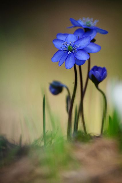 ~~Hepatica by Spidi1981~~