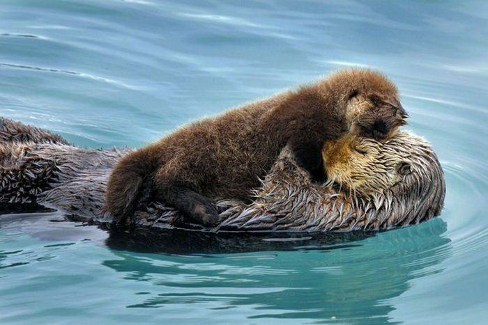 Морской хищник из семейства куньих, родственник выдры.