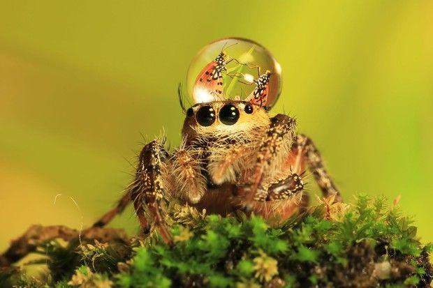 Imágenes de arañas interactuando con gotas de agua | Pijamasurf