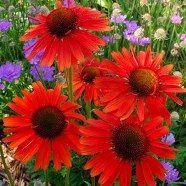 Echinacea Purpurea Red