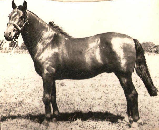 Chilean horse purebred- Caballo Chileno de pura raza record since 1893. Potro El Tutito