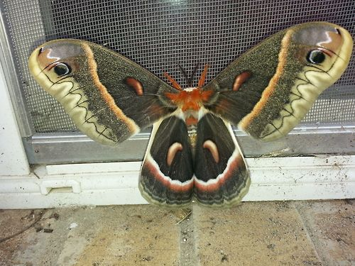 Hyalophora cecropia, the largest of the native North American moths