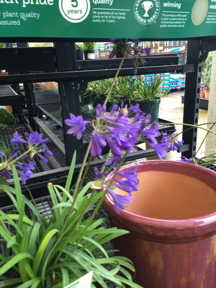 Tall purple flower