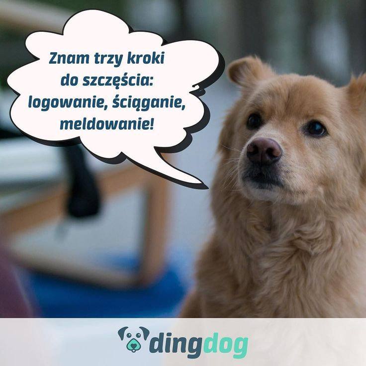 A Ty znasz trzy kroki do szczęścia swojego psa? #DingDog #dog #pies