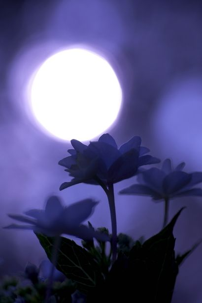 Japanese poem Haiku by Basho MATSUO (1644~1694): しばらくは 花の上なる 月夜かな lingering a while / above the blossoms / the moon in the night sky