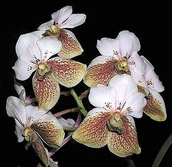 17 best images about plants orchids on pinterest orchid. Black Bedroom Furniture Sets. Home Design Ideas