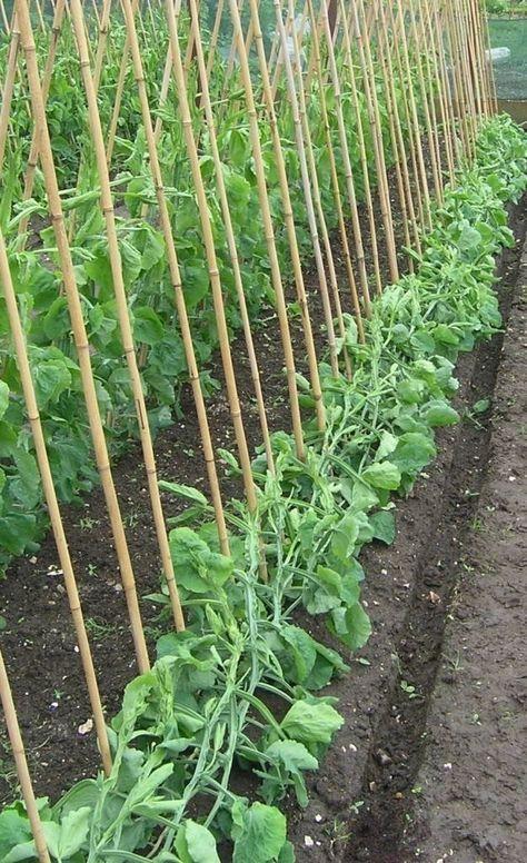 Выращивание гороха на шпалере
