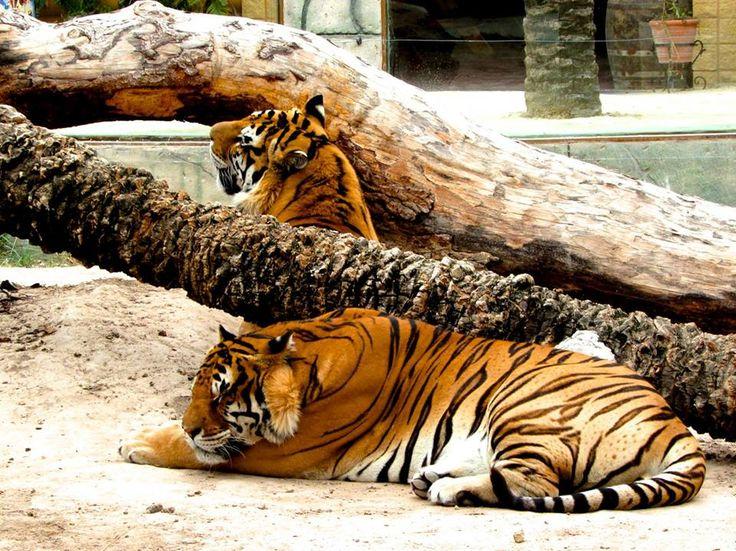 Tigres en Río Safari Elche Bengal Tigers at Rio Safari Elche (Alicante, Spain)