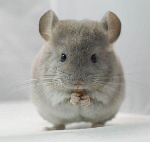 chinchillas - <3  soo cute. Second favorite animal ... So it's going under bear categories.