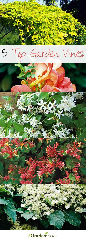 Here are TGG's Top 5 Garden Vine Choices, how we use and grow them, and where!