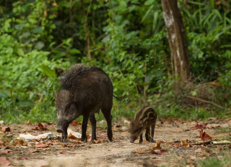 Wild boars at Ko Tarutao