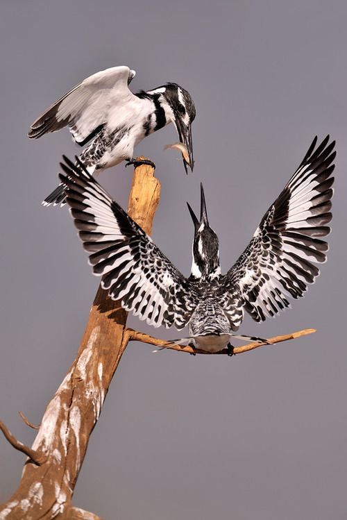 Pied Kingfishers- The Pied Kingfisher is a water kingfisher and is found widely distributed across Africa and Asia. Their black and white plumage, crest and the habit of hovering over clear lakes and rivers before diving for fish makes it distinctive